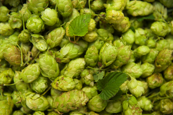East Kent Goldings, the best hops in the world